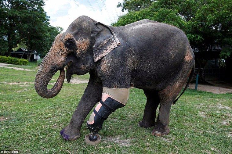 В Таиланде для травмированной слонихи сконструировали протез