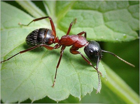 Биологи узнали секрет прекрасной способности к навигации у муравьев