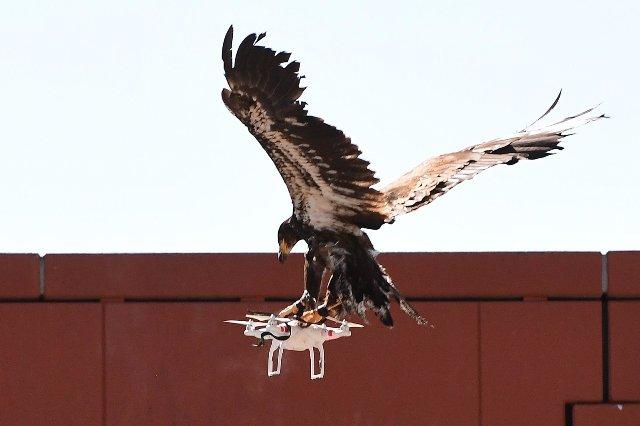 Голландская полиция закрывает программу орлов-охотников за дронами