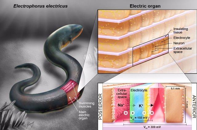 Электрические угри могут быть ключом для питания имплантируемых устройств