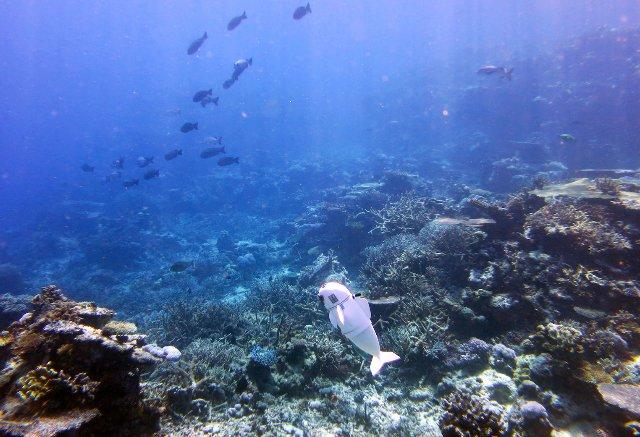 Исследователи создают роботизированную рыбу, которая может плавать под водой самостоятельно