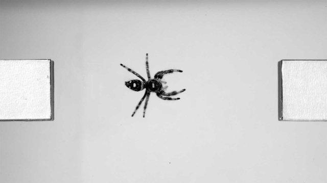 Ученые изучают прыгающих пауков для создания гибких роботов