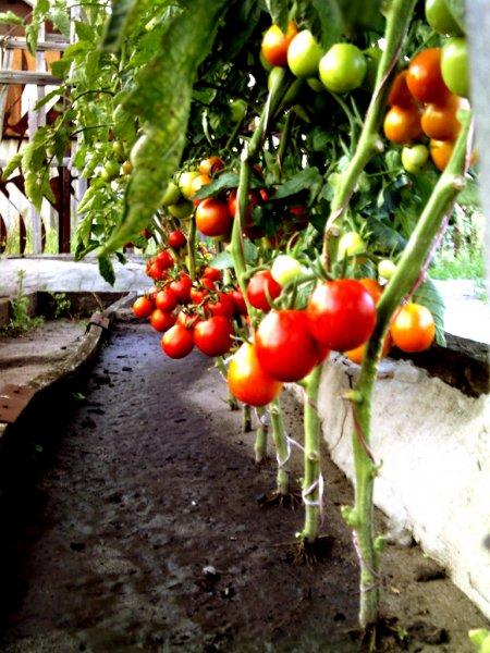 Panasonic создала робота с искусственным интеллектом, собирающего зрелые томаты